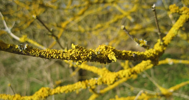 yellowy twigs