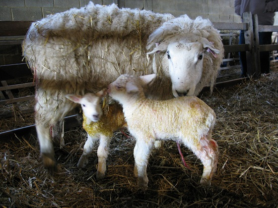 lambs just born