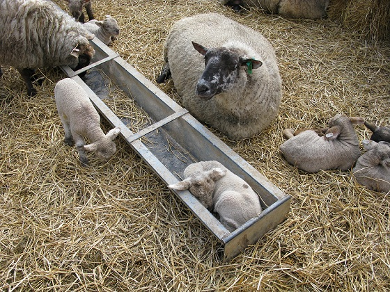 Lamb in feeder