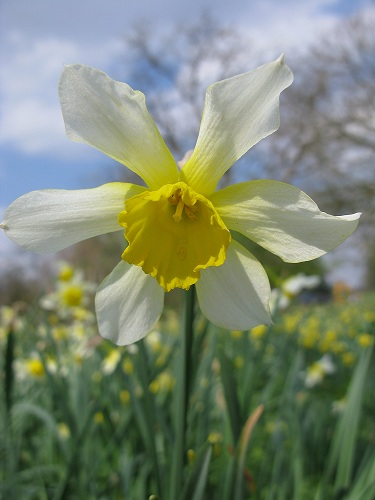host of golden daffodils